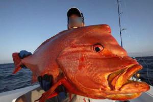 Pesca nelle Isole del Sud Oman, Mare Arabico, famose per la pesca da Big Game. Foto della barca per la pesca, popping, jigging al G.T. ed altri pesci da record. Foto di un grosso Pesce Napoleone rosso.