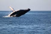 Pesca nelle Isole del Sud Oman, Mare Arabico, famose per la pesca da Big Game. Foto della barca per la pesca, popping, jigging al G.T. ed altri pesci da record. Foto di una balena.