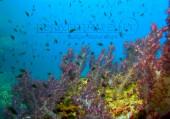 Scuba diving, viaggi per Sub in Oman Sud, foto di un fondale durante una immersione nel Dhofar.