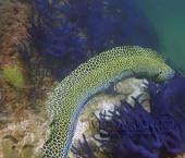 Scuba diving, viaggi per Sub in Oman Sud, foto di una murena durante una immersione nel Dhofar.