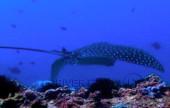 Scuba diving, viaggi per Sub in Oman Sud, foto di una manta durante una immersione nel Dhofar.