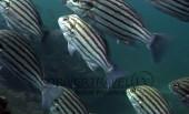 Scuba diving, viaggi per Sub in Oman Sud, foto di un branco di pesci durante una immersione nel Dhofar.