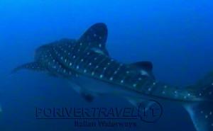 Scuba diving, viaggi per Sub in Oman Nord, foto di uno squalo, avvistato durante una immersione a nord di Muscat.