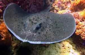 Scuba diving, viaggi per Sub in Oman Nord, foto di una razza, avvistata durante una immersione a nord di Muscat.