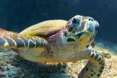 Sub in Oman Nord, foto di una tartaruga durante una immersione a nord di Muscat.