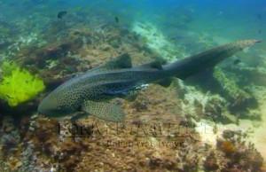 Sub in Oman Nord, foto di un piccolo squalo durante una immersione a nord di Muscat.