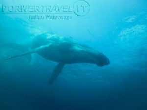 Crociera in Oman nel Mar Arabico, a bordo della nave Saman Explorer, foto sub di una balena.