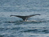 Crociera in Oman nel Mar Arabico, a bordo della nave Saman Explorer, foto di una balena.