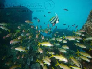 Crociera in Oman nel Mar Arabico, a bordo della nave Saman Explorer, foto sub di un branco di triglie.