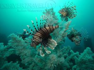 Crociere in Oman, nave Saman Explorer: immersione nel Mar Arabico nel Dhofar, foto di pesci scorpione (o leone)