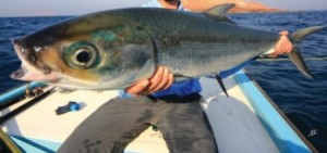 Fly fishing in Oman, foto di cattura di milkfish dalla barca