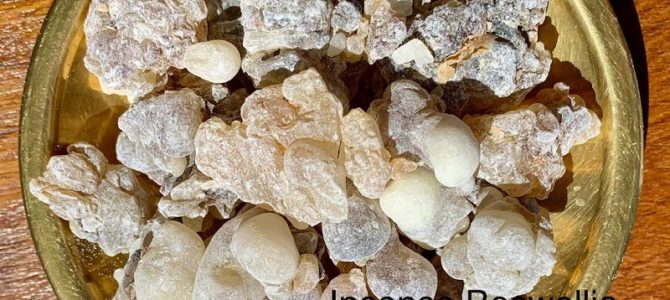 Incenso Oman Al Hojari Boswellia Sacra, Oman Dhofar Salalah: Grado Grani Grandi First. Frankincense Al Hojari Bosvellia Sacra Best Quality Big Grains Pieces.
